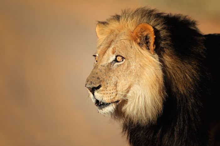 Lion Essay